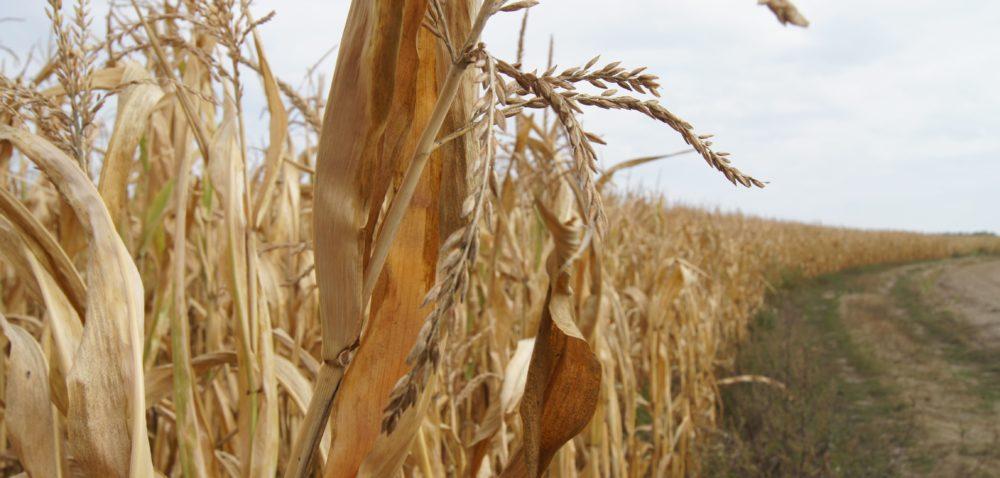 Ubezpieczenia od suszy: wykupiło je tylko 86 rolników