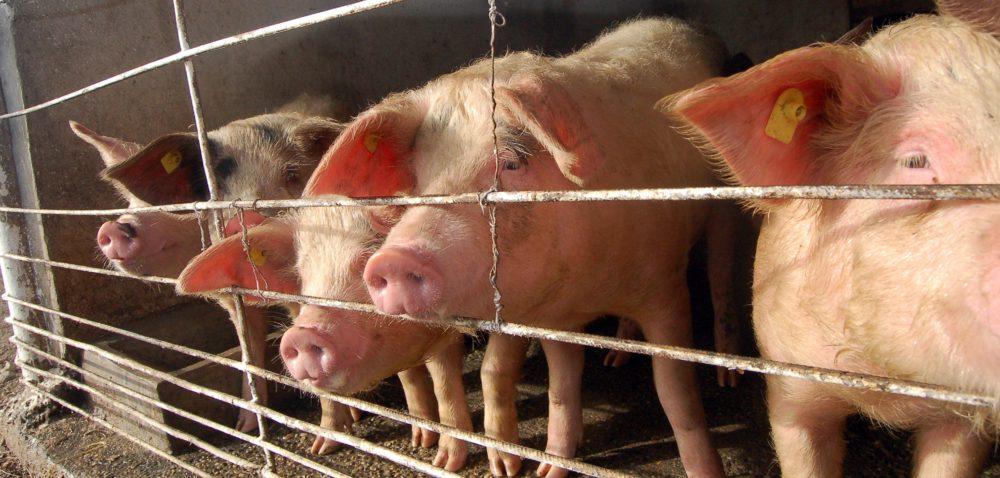 ASF zagraża hodowli: świnia to wciąż problem