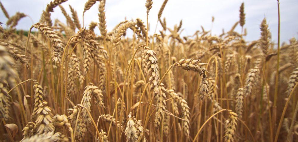 Pszenica chlebowa: jak ją uprawiać?