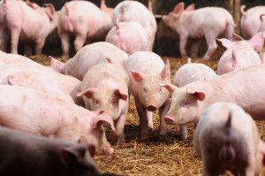 pożyczka dla producenta świń zobszaru ASF
