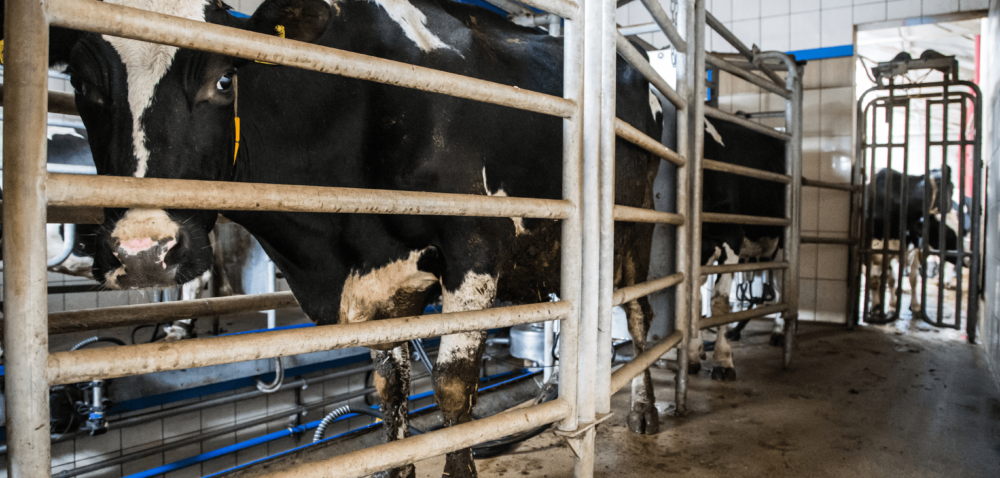 Rynek mleka na zakręcie: zamienić mleczne na mięsne?