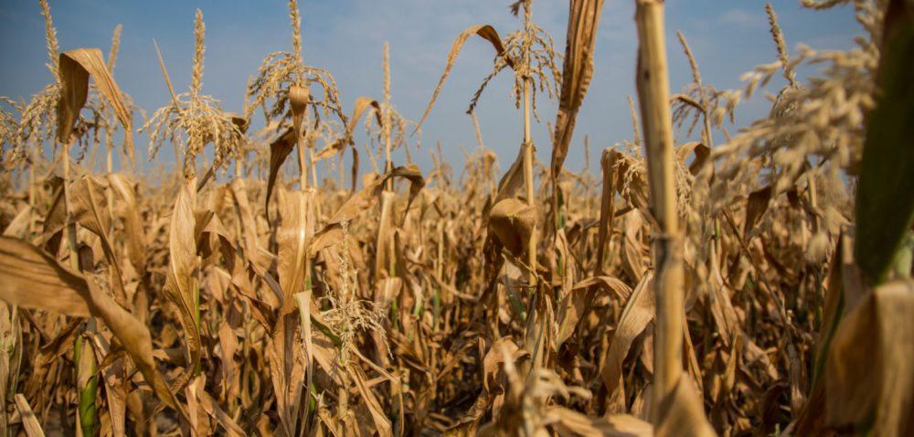 Straty suszowe: czy rolnicy przetrwają trudne czasy?