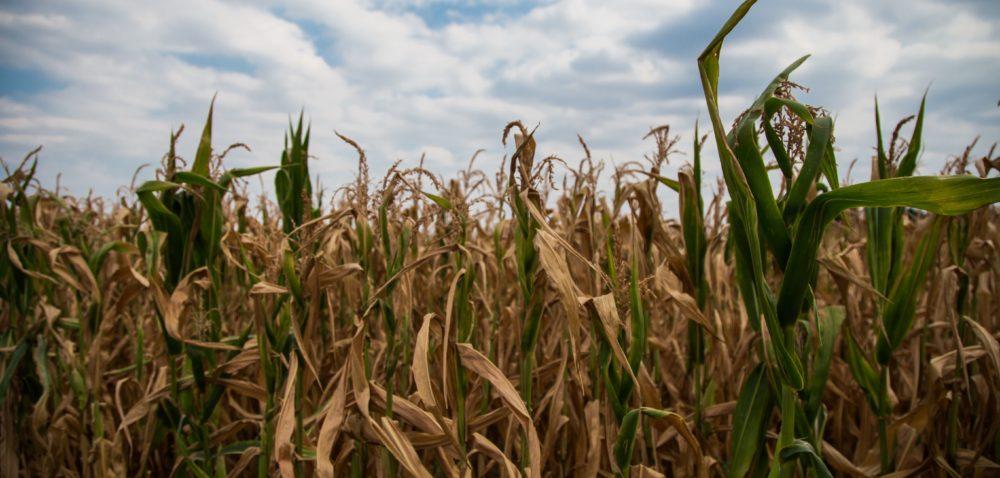 Straty zpowodu suszy: zła pogoda zbiera żniwa