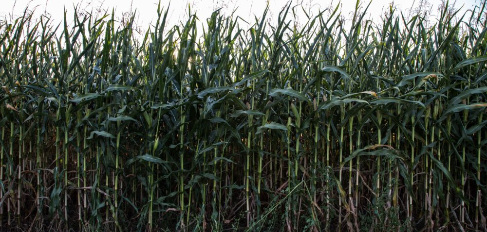 Uprawa kukurydzy: jakich błędów unikać?