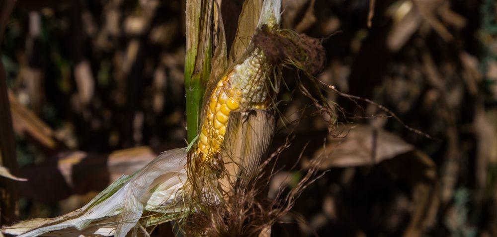 Jak pomóc kukurydzy zekstremalnymi warunkami?