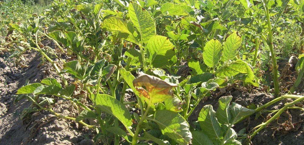 Plony ziemniaków bez rewelacji: mniejsze plony, wyższa cena