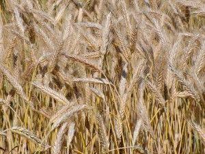 Wysiew zbóż ozimych_2