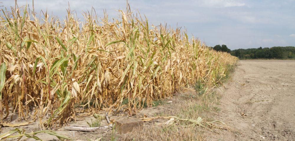 Poszkodowani przez suszę mogą składać wnioski opomoc