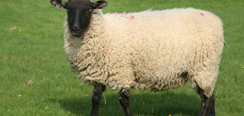 Program Owca Plus: będą pieniądze na wypas owiec