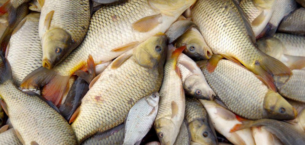 Stawy zagrożone, ceny ryb idą wgórę