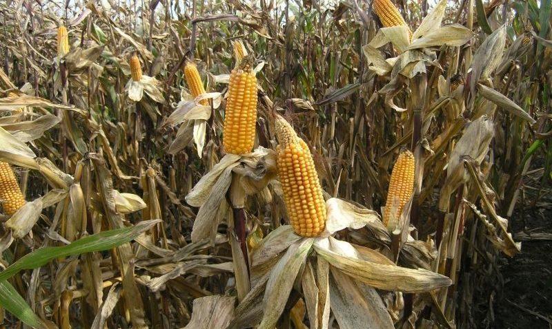 Kukurydza: jak wygląda wprzededniu żniw?