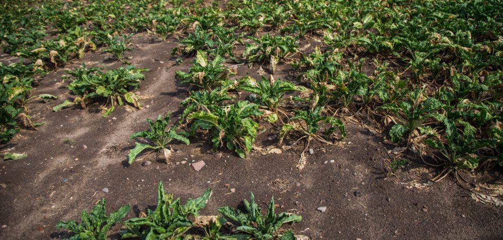 Odszkodowania: miliony dla rolników dotkniętych suszą