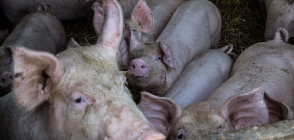Trzoda chlewna: ile kosztuje świnka?