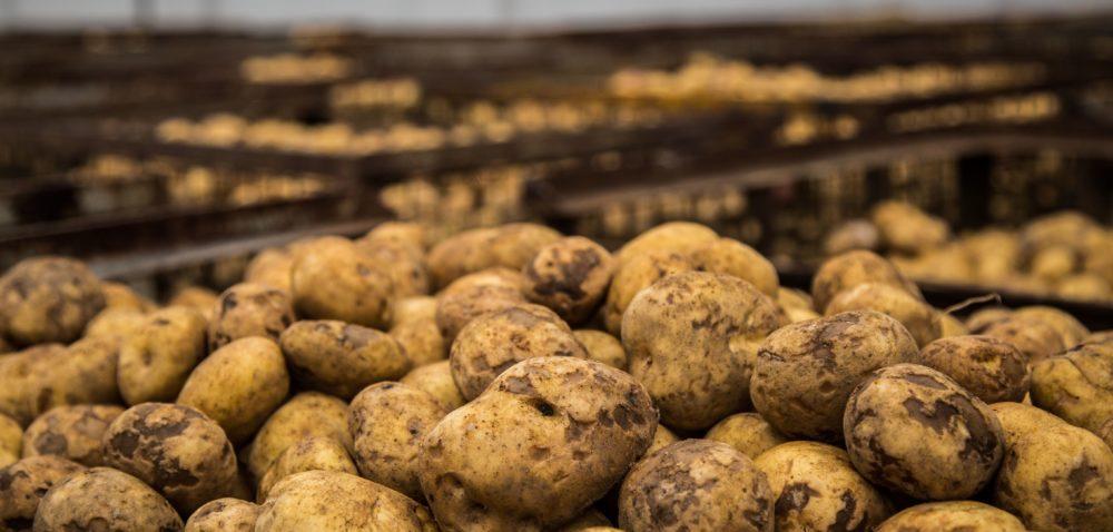 Bakterioza: problem producentów ziemniaków