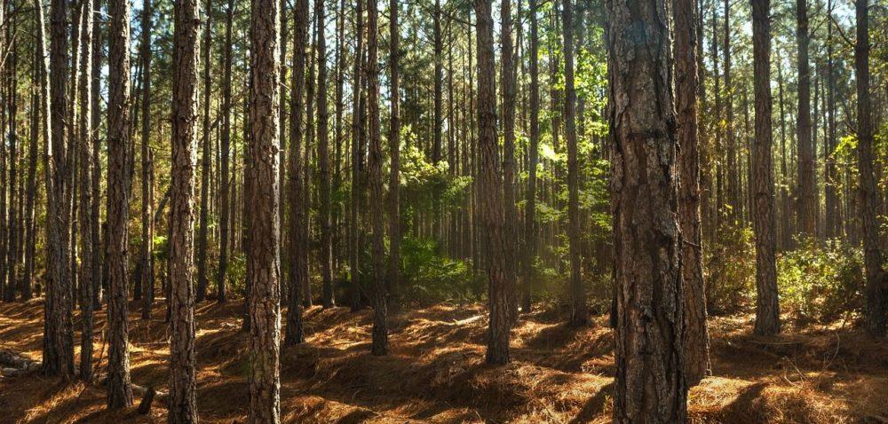 Lasy państwowe: bezpieczne czy zagrożone?