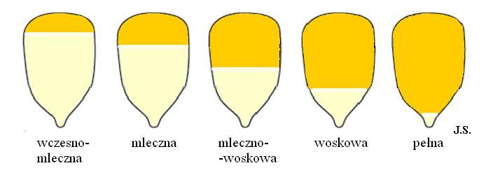 Kiszonki zkukurydzy_wykres 1