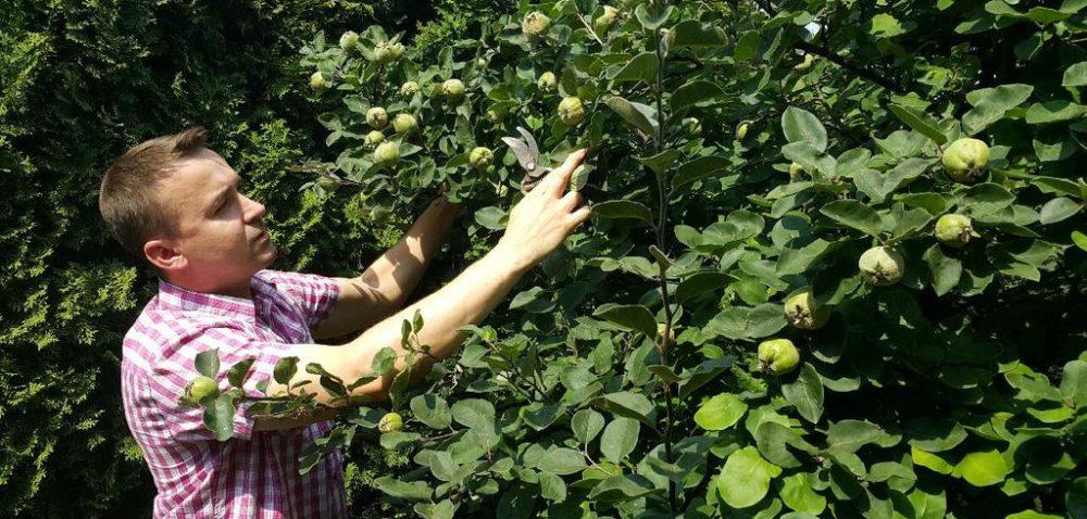 Figi ipigwy wPacanowie: sadowniczy eksperyment
