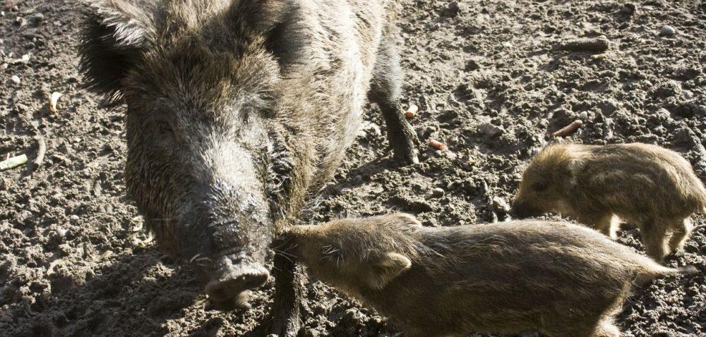 Afrykański pomór świń: co dalej?