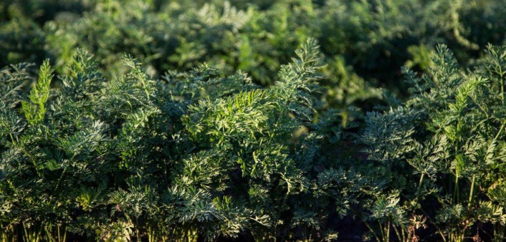 Które okopowe wekologicznej produkcji?