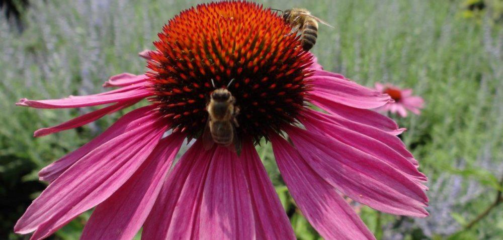 Rośliny miododajne ratunkiem dla pszczół