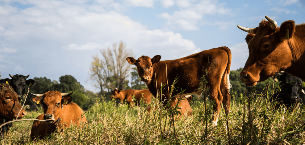 Hodowcy bydła! Przed Wami Forum Sektora Wołowiny