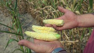 Kukurydziane żniwa 2015; kukurydza