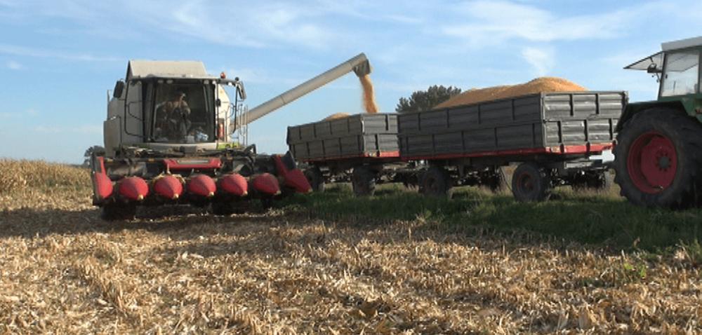Kukurydziane żniwa: podsumowanie