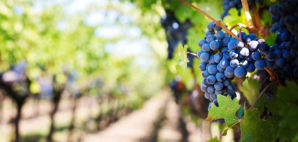 Zbiory winogron na Podkarpaciu