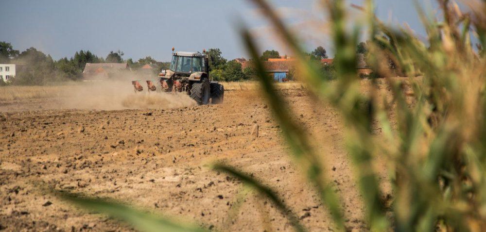 Międzyplony wuprawie kukurydzy