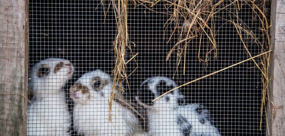 Wystawy gołębi, królików idrobiu ozdobnego