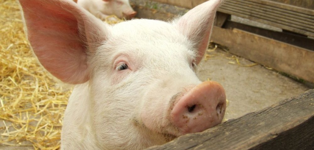 Rośnie produkcja wieprzowiny