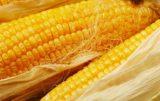 Kukurydza: skąd się wzięła?