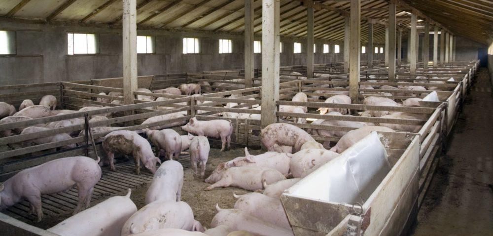 Pasożyty wewnętrzne wstadzie świń: jak je zwalczać?