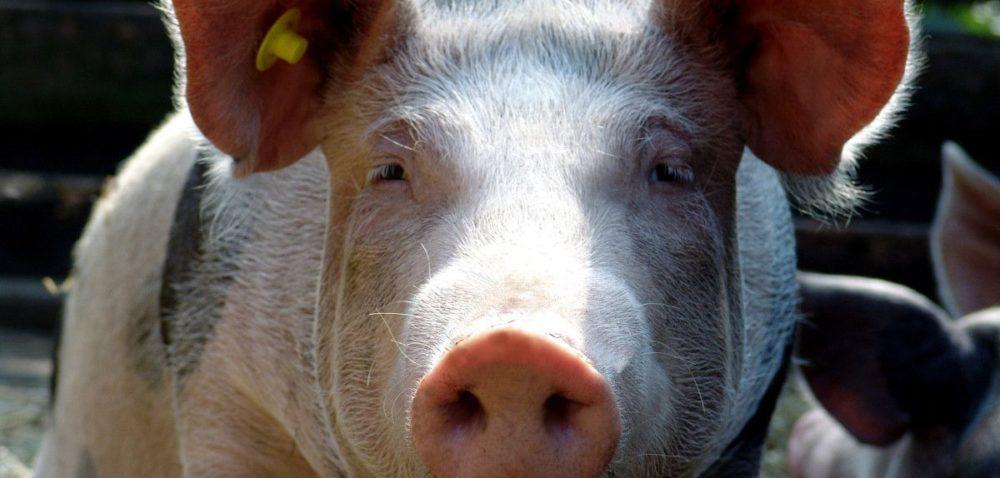 Unia Europejska eksportuje więcej mięsa wieprzowego