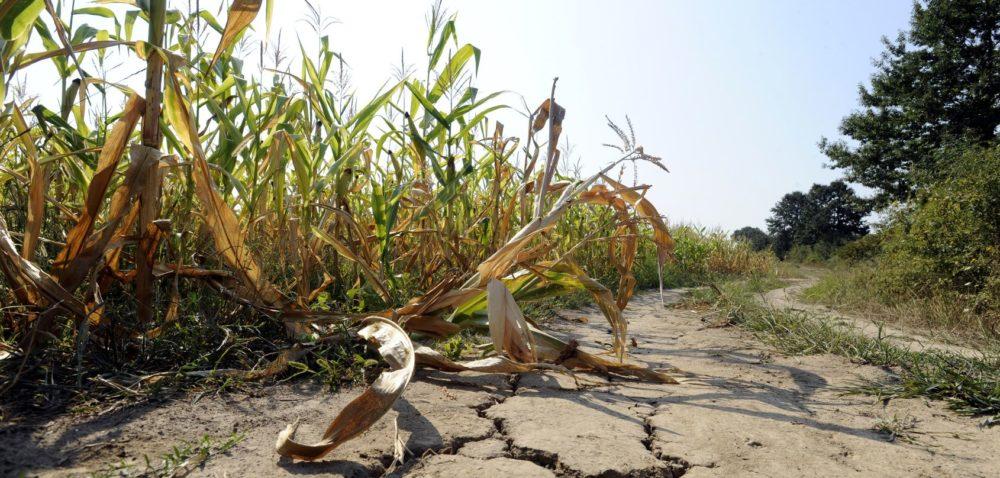 Dla rolników bez polisy będzie niższa pomoc suszowa