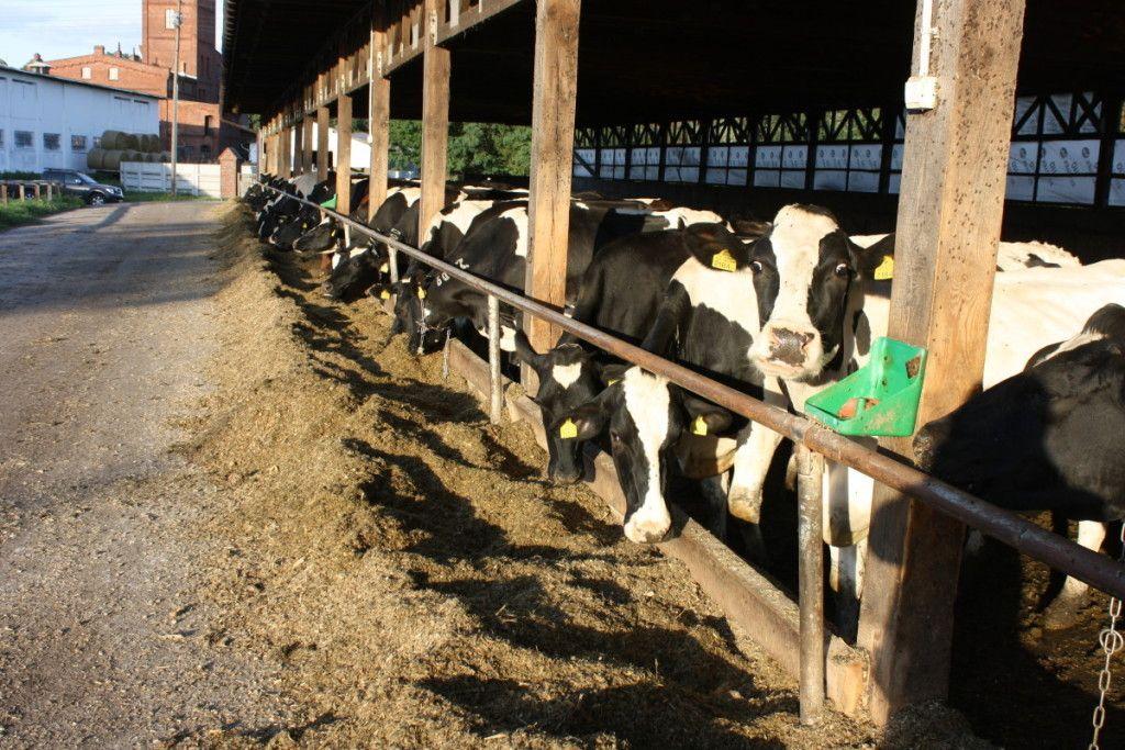odporność zwierząt; sytuacja mleka