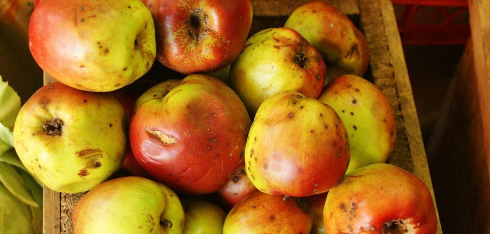 Zbiory jabłek dobiegają końca