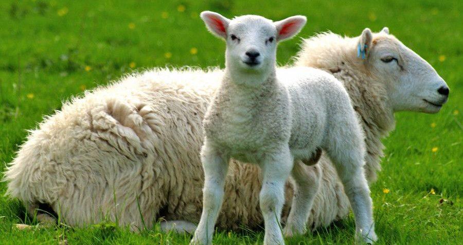 Ceny owiec ciężkich na opak