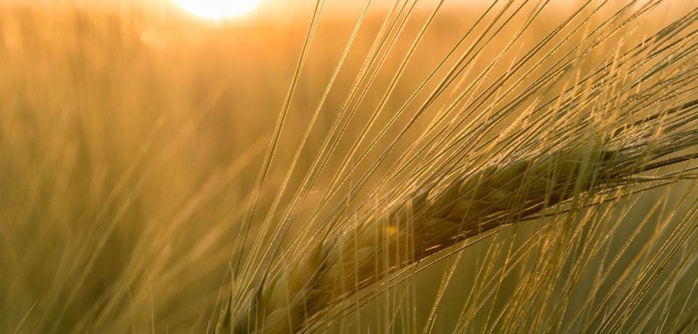 Żółta karłowatość: ciepła jesień sprzyja wirusom zbóż