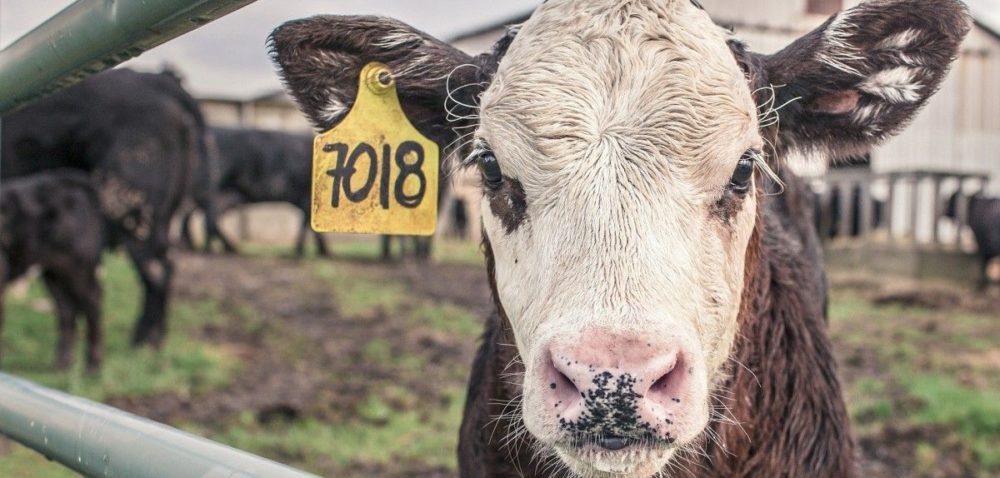 Za krowę zapłacimy trochę więcej