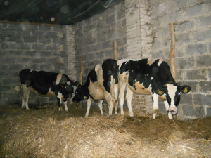 legowiska dla krów