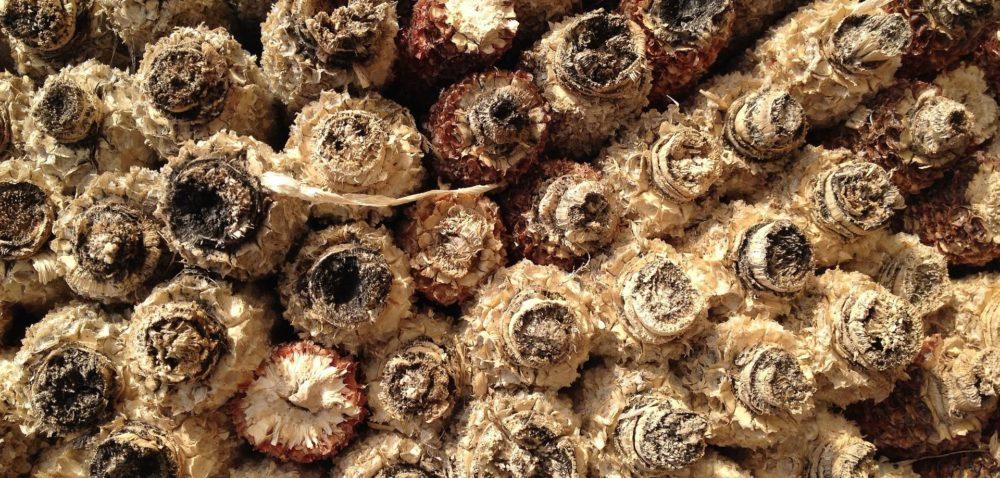 Kukurydza może być wykorzystywana do produkcji etanolu