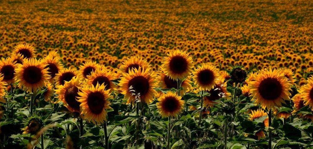 Słoneczniki: słoneczna plantacja