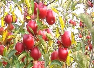 jak przechowywać jabłka?