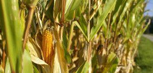 kukurydza bez gmo