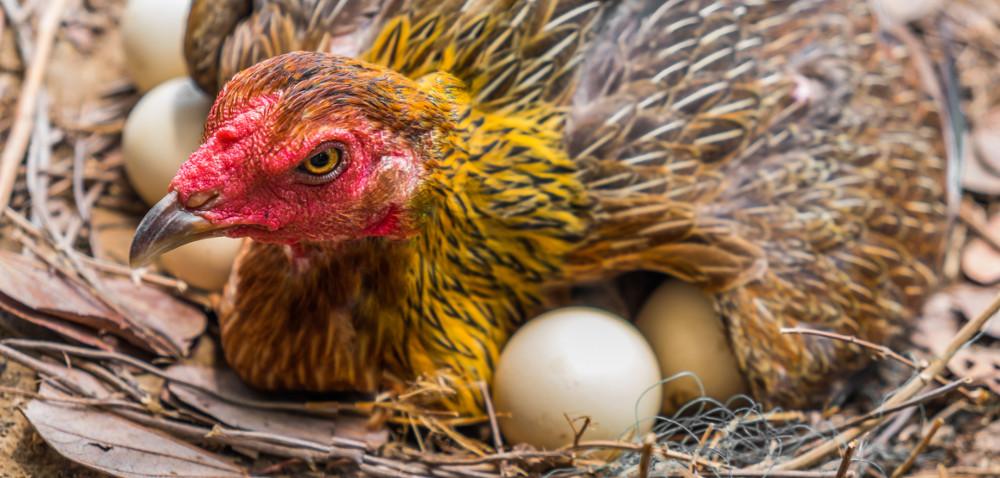 Jak oszukać kury, by niosły więcej jaj?