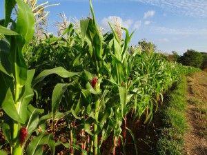 Trwa konkurs dla sprzedawców środków ochrony roślin; kukurydza