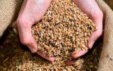 nasiona niezaprawione