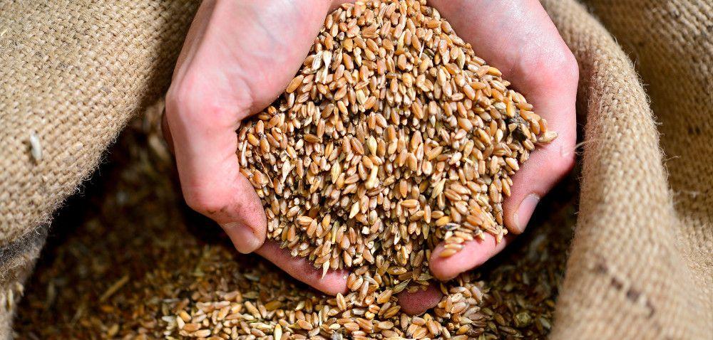 Kupić nasiona kwalifikowane czy wysiać własne?