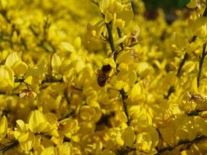 oilseed-rape-346144_1920